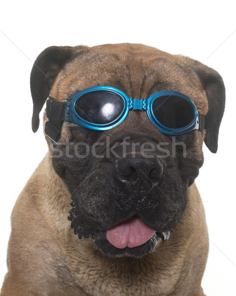 Сток-фото: бык · дог · очки · белый · собака · женщины