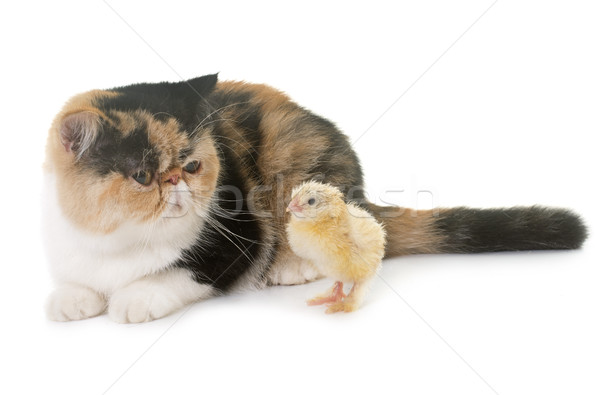 tricolor exotic shorthair cat and chick Stock photo © cynoclub