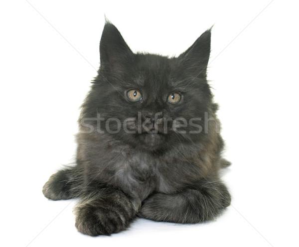 Stockfoto: Maine · kitten · witte · kat · rook · zwarte