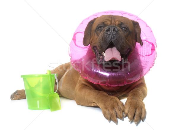 dogue de Bordeaux in summer Stock photo © cynoclub