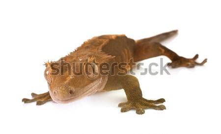 Crested gecko in studio Stock photo © cynoclub