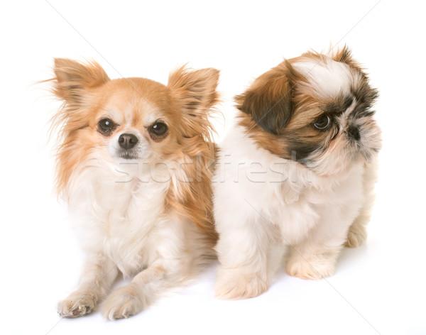 shih tzu puppy and chihuahua Stock photo © cynoclub