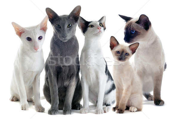 кошек портрет три два белый Сток-фото © cynoclub