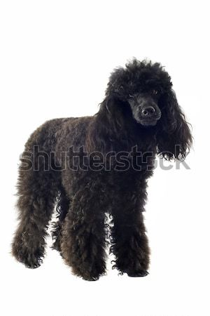 poodle  Stock photo © cynoclub