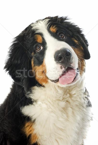 子犬 犬 肖像 白 ストックフォト © cynoclub