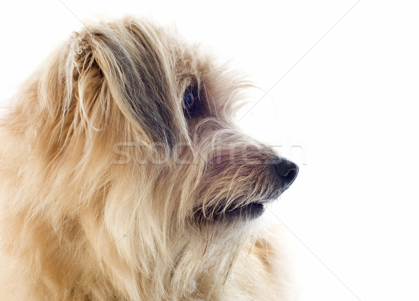Chien de berger portrait blanche chien studio animal Photo stock © cynoclub