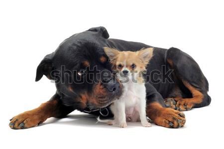 Rottweiler portré fekete idős barátság díszállat Stock fotó © cynoclub