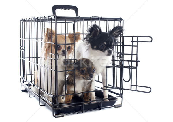 chihuahuas in kennel Stock photo © cynoclub