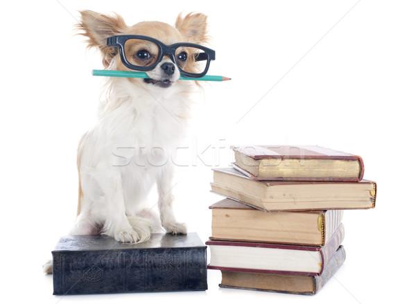 Stock photo: chihuahua and books