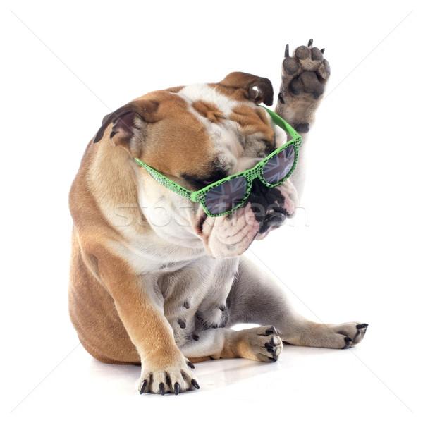 Angol bulldog fehér kutya jókedv női Stock fotó © cynoclub