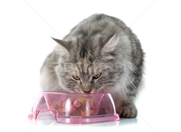 eating maine coon cat Stock photo © cynoclub
