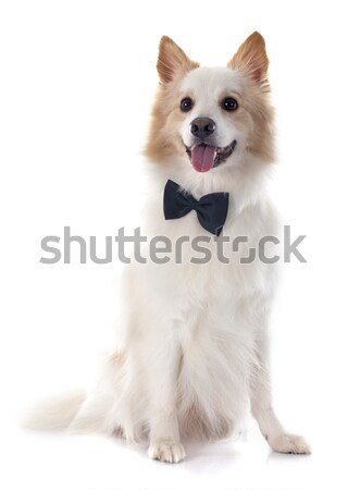 Chien de berger blanche Homme animal isolé fond blanc Photo stock © cynoclub