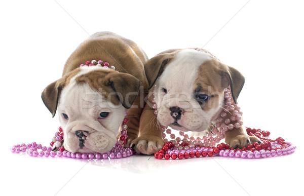 puppies english bulldog Stock photo © cynoclub