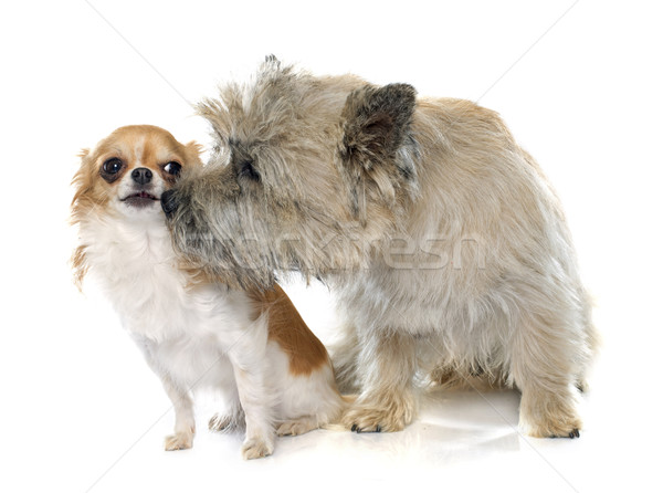 purebred cairn terrier and chihuahua Stock photo © cynoclub