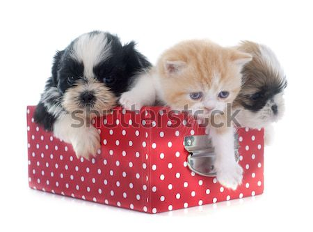 british longhair kitten and puppy Stock photo © cynoclub