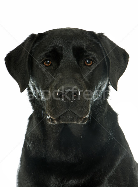 Femenino negro labrador retriever blanco jóvenes cabeza Foto stock © cynoclub