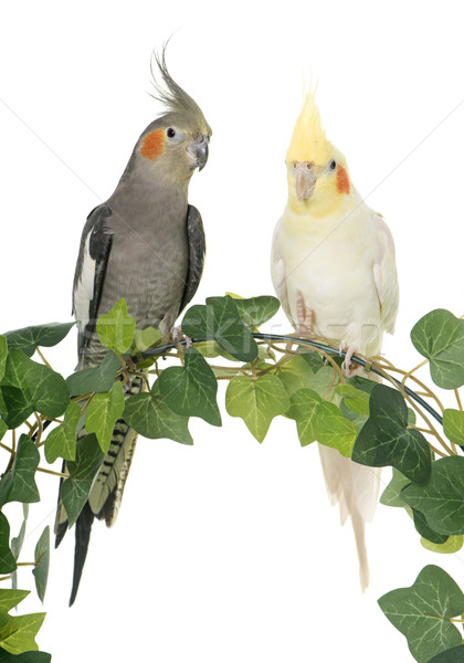 cockatiel on ivy Stock photo © cynoclub