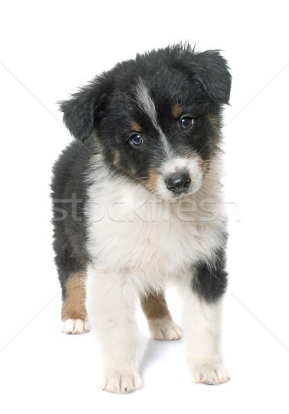 puppy australian shepherd in studio Stock photo © cynoclub