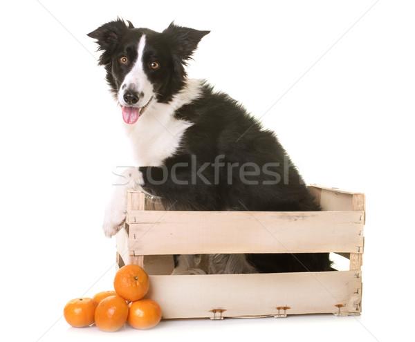 Border collie skrzynia biały owoców pomarańczowy czarny Zdjęcia stock © cynoclub