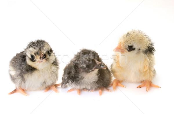 Civciv stüdyo kuş tavuk siyah tarım Stok fotoğraf © cynoclub