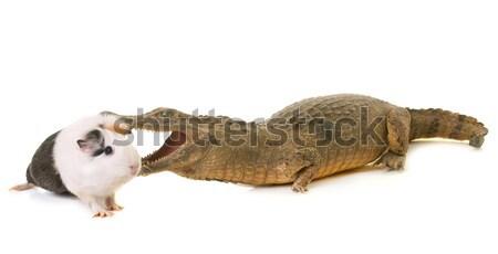 Kobay yeme krokodil beyaz arka plan küçük yırtıcı hayvan Stok fotoğraf © cynoclub