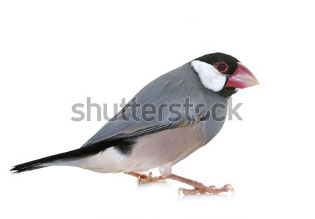 java sparrow in studio Stock photo © cynoclub