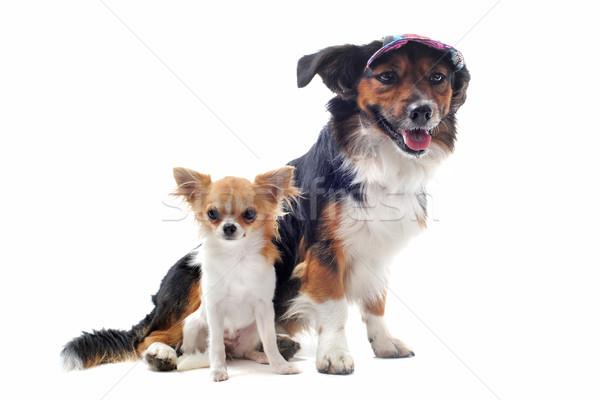 puppy chihuahua and corgi Stock photo © cynoclub