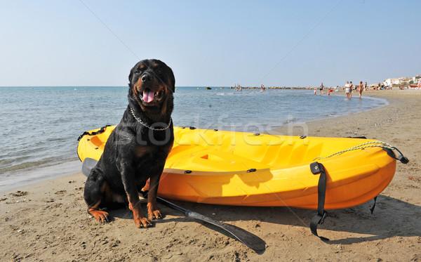 Rottweiler strand portret water zee Stockfoto © cynoclub