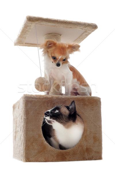 Sziámi macska posta fajtiszta kutya macska stúdió Stock fotó © cynoclub