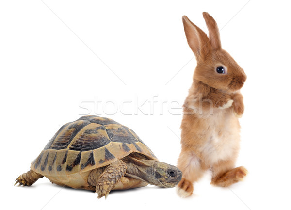 Tortue lapin course blanche isolé Photo stock © cynoclub