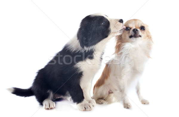 puppy border collie and angry chihuahua Stock photo © cynoclub