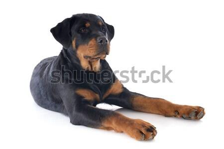 ロットワイラー 肖像 子犬 白 黒 ストックフォト © cynoclub