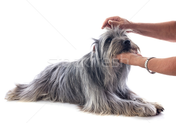 grooming of Pyrenean sheepdog  Stock photo © cynoclub