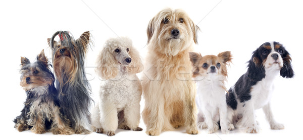 Stock photo: six little dogs