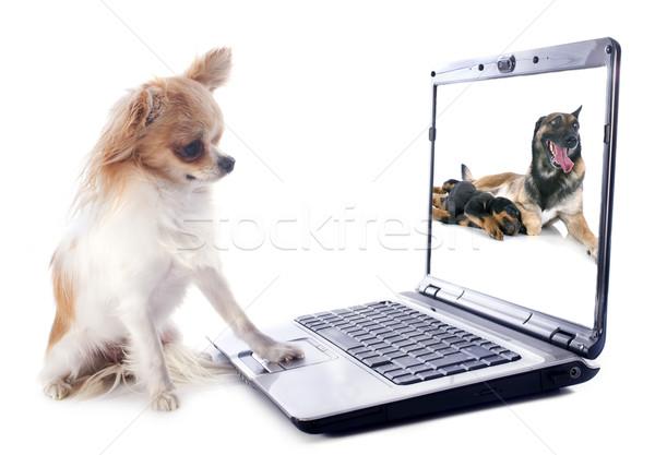 Photo stock: Ordinateur · portrait · cute · blanche · chien