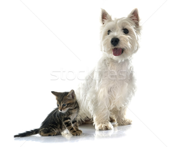 west highland terrier and kitten Stock photo © cynoclub