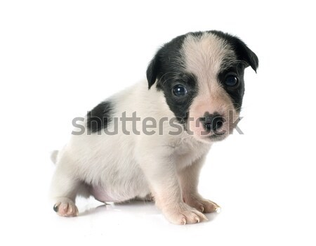 puppy jack russel terrier Stock photo © cynoclub