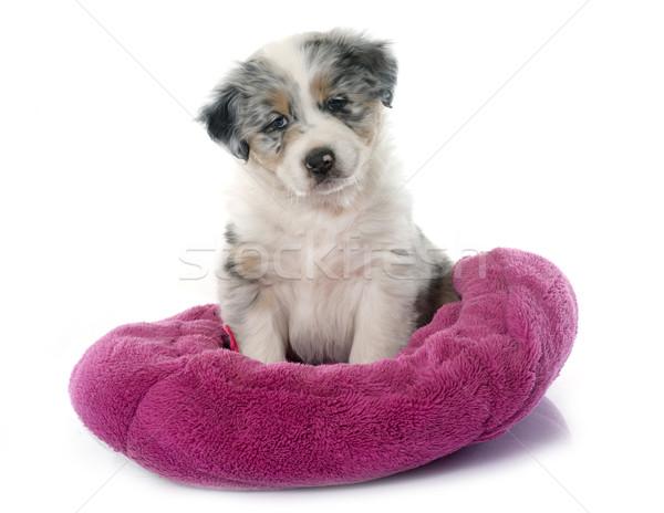 子犬 オーストラリア人 羊飼い 白 青 肖像 ストックフォト © cynoclub