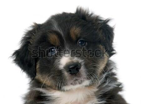 子犬 オーストラリア人 羊飼い 白 肖像 黒 ストックフォト © cynoclub