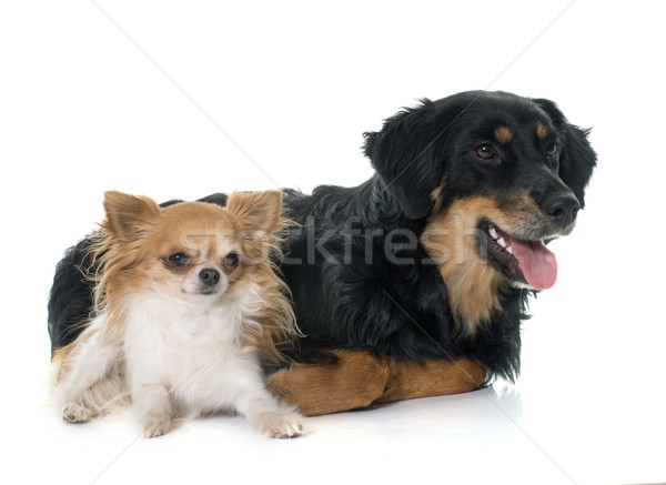 young black hovawart and chihuahua Stock photo © cynoclub