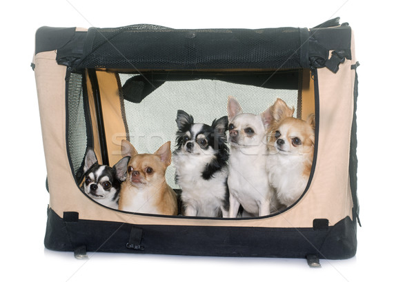 chihuahuas in transport kennel Stock photo © cynoclub