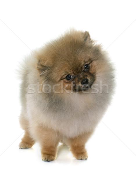 puppy pomeranian dog Stock photo © cynoclub
