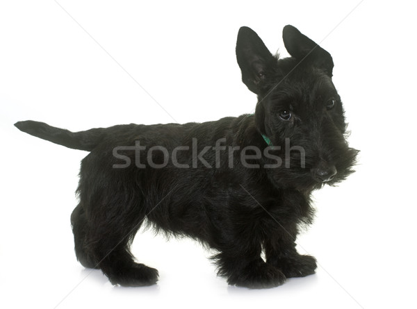 puppy scottish terrier Stock photo © cynoclub