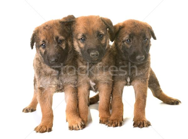 Cuccioli pastore belga cane gruppo giovani cucciolo Foto d'archivio © cynoclub