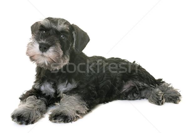 Zdjęcia stock: Szczeniak · miniatura · biały · psa