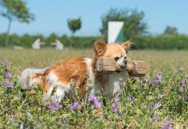 Eğitim itaat sevimli köpek ahşap doğa Stok fotoğraf © cynoclub