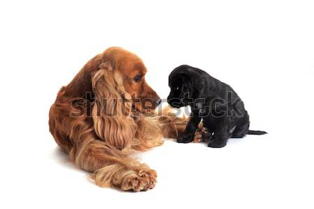 puppy english cocker and adult Stock photo © cynoclub