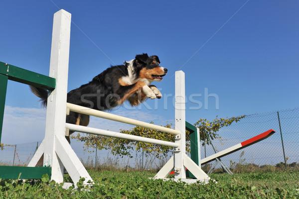 Saltar australiano pastor hierba perro Foto stock © cynoclub