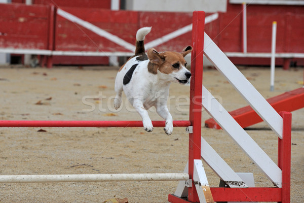 beagle in agility Stock photo © cynoclub