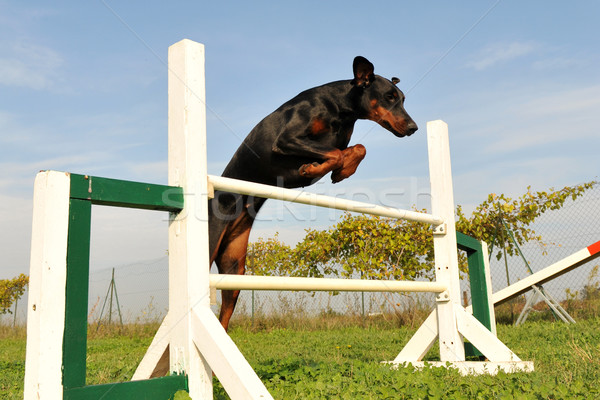 doberman in agility Stock photo © cynoclub